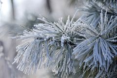 Fir tree covered with ice close-up Royalty Free Stock Images
