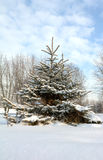 Fir tree covered with snow Stock Image