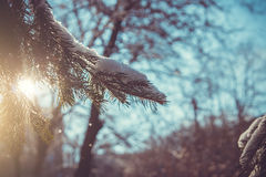 Fir tree covered with snow Stock Photography