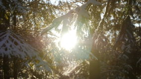 Fir tree covered with snow under morning sunbeams. Beautiful falling snow. Lens flares, slow motion stock video