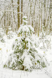 Fir tree covered with snow. Winter, Russia stock photography