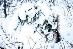 Fir tree covered in thick snow Royalty Free Stock Photography