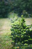 Fir tree and detail on a fir buds and sprouts with green background. Royalty Free Stock Photos