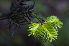 Fir tree detail Royalty Free Stock Photography