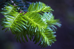 Fir tree detail Royalty Free Stock Photo