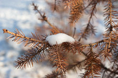 Fir tree dry closeup needles with snow. Fir tree dry closeup needles with piece of snow on it Royalty Free Stock Photo