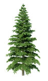 Fir tree. Without environment and shadow Royalty Free Stock Image