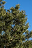 Fir tree. Evergreen fir tree and blue sky Stock Images