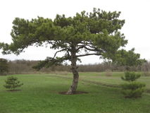 Fir-tree on the field Royalty Free Stock Photo