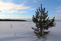 Fir tree on the field on a winter evening. Royalty Free Stock Photography