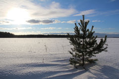 Fir tree on the field on a winter evening. Stock Photography
