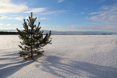 Fir tree on the field on a winter evening. Stock Images