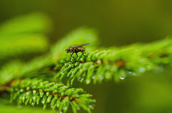 Fir tree with fly Royalty Free Stock Photos