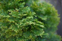 Fir tree stock photography