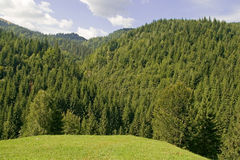 Fir tree forest. At the mountain stock photography