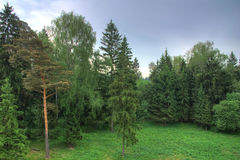 Fir-tree forest. Landscape in a rainy day Royalty Free Stock Photos