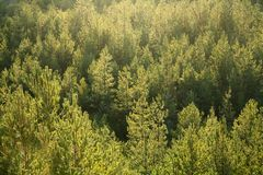 Fir tree forest. Fir tree forrest on a sunny day Stock Photo