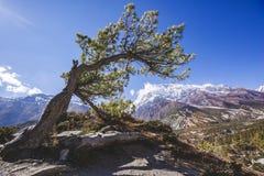 Fir tree forest in Annapurna circuit trek. Himalayas of Nepal. Fir tree forest. Annapurna circuit trek. Himalayan mountains of Nepal stock image