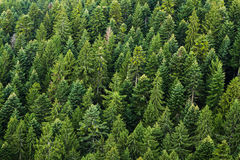 Fir tree forest Stock Photo