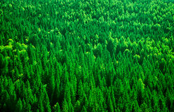 Fir tree forest background Stock Photos