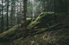 Fir tree forest with cliffs and green moss Stock Photography