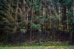 Fir tree forest Stock Photos