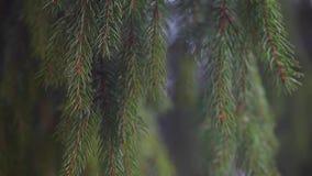 Fir tree forest footage wind. Nature season stock footage