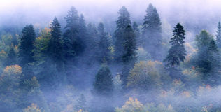 Fir-tree forest mist. Fir-tree forest wood in mountain area by an autumn morning covered by mist fog Royalty Free Stock Images