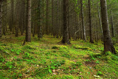 Fir tree forest with moss and green vegetation Stock Image
