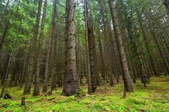 Fir tree forest with moss and green vegetation Stock Photo