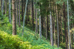 Fir tree forest Royalty Free Stock Images