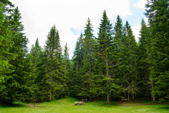 Fir Tree Forest in National Park Durmitor of Montenegro Royalty Free Stock Image