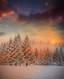 Fir tree forest in snowy landscape Royalty Free Stock Photos