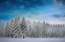 Fir tree forest in snowy landscape Royalty Free Stock Images