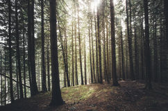 Fir tree forest with sun shining at mountainside Royalty Free Stock Image