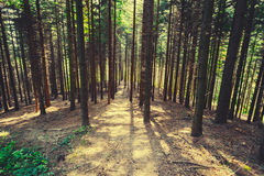 Fir tree forest. In sunlight Stock Image
