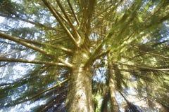 Fir Tree. Forest in sunlight Stock Photo