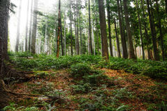 Fir tree forest with sunlight. Through the trees Stock Images