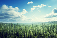 Fir tree forest in sunny day Stock Photography