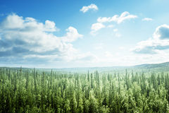 Fir tree forest in sunny day Stock Images
