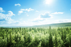 Fir tree forest in sunny day Royalty Free Stock Photo