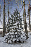 Fir tree with fresh snow, surrounded by birch trees. Royalty Free Stock Photos