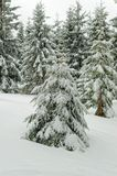 Fir tree in a fresh snow in a winter forest under overcast sky. Harz national park, Germany stock image