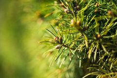 Fir tree green background Royalty Free Stock Images