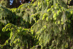 Fir tree green branches Royalty Free Stock Photos
