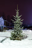 Fir tree growing. In the snow in winter near the house in the village Stock Images