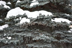 Fir tree grows in the forest Royalty Free Stock Photos