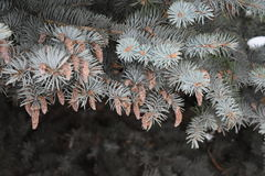 Fir tree grows in the forest Royalty Free Stock Images