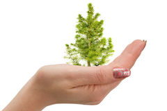 Fir tree in hand Stock Images