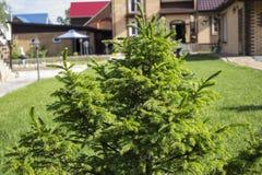 Fir-tree HD στη Σιβηρία στοκ φωτογραφία